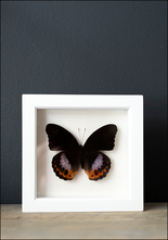 Bug Under Glass Framed Eggfly Butterfly