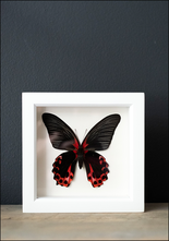 Bug Under Glass Framed Scarlet Mormon Butterfly Verso