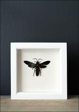 Bug Under Glass Framed Scoliid Wasp