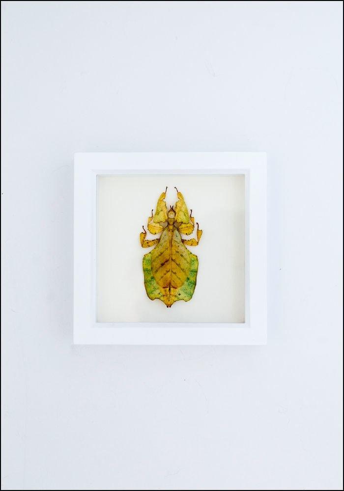 Framed Walking Leaf