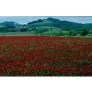 Valley Seed & Supply Co. Crimson Clover