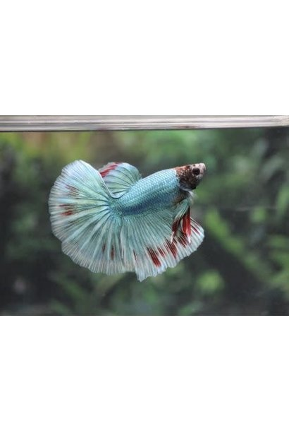 Betta Halfmoon Premium Male