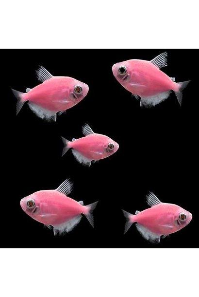 Glofish Moonrise Pink Tetra
