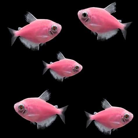 Glofish Moonrise Pink Tetra-1