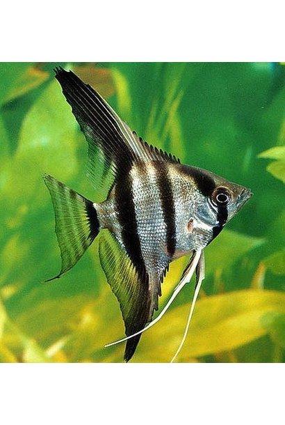 AngelFish Fancy