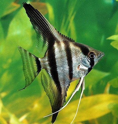 AngelFish Fancy-1