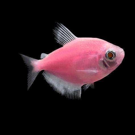 Glofish Moonrise Pink Tetra-2