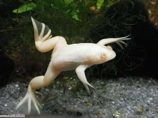 Albino Fruit Frog-2