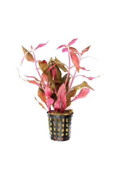 Alternanthera reineckii 'Pink' potted