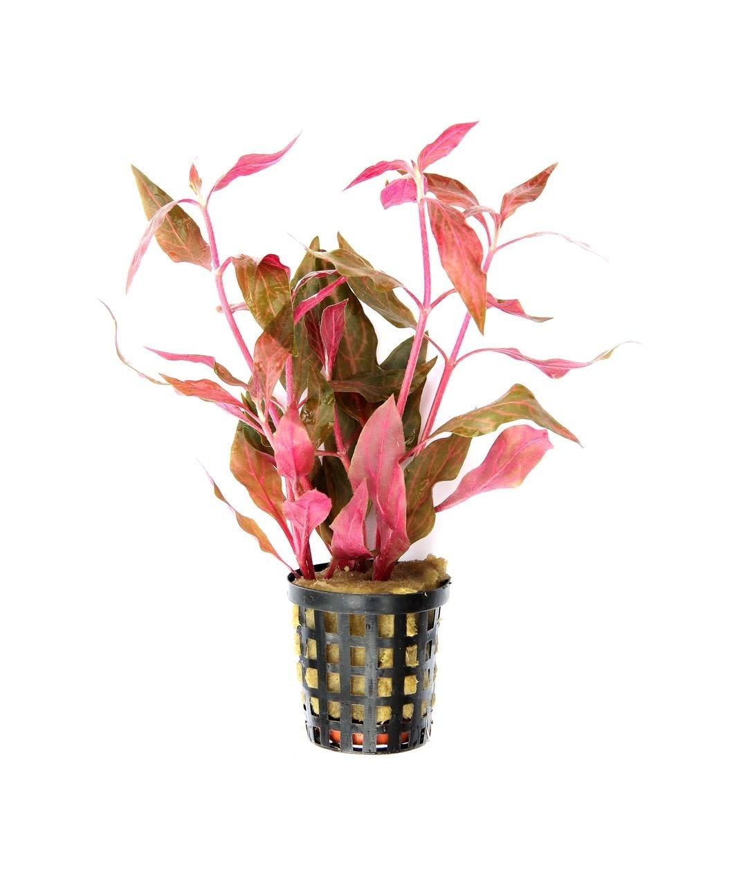 Alternanthera reineckii 'Pink' potted-1