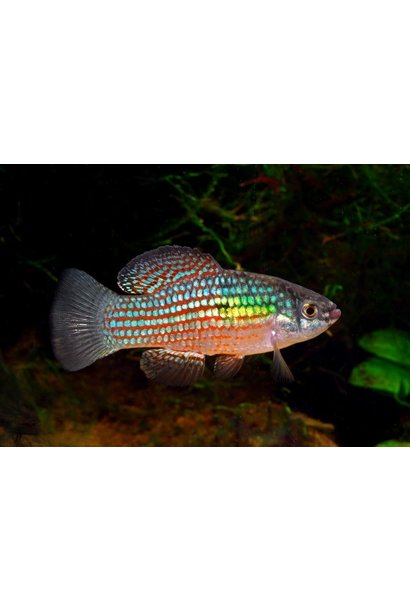 American Flagfish M/L
