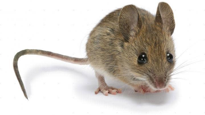25 Adult Mice 24-30gm-1