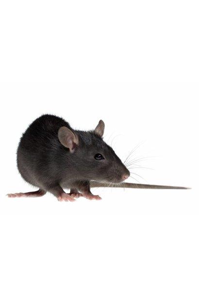 Frozen Jumbo Rat