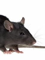 Frozen Medium Rat