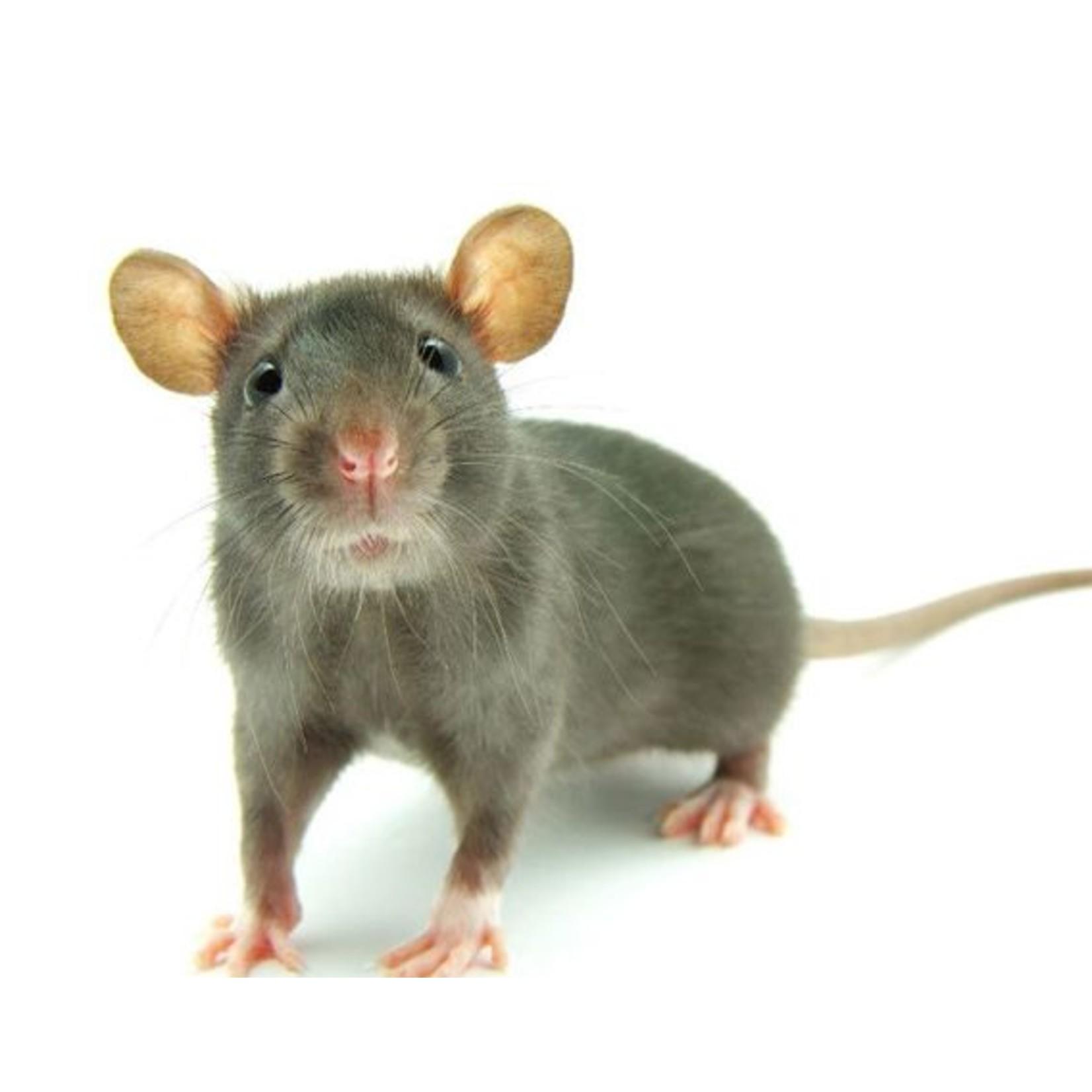 Frozen Small Rat