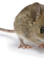 5 Frozen Jumbo Mice