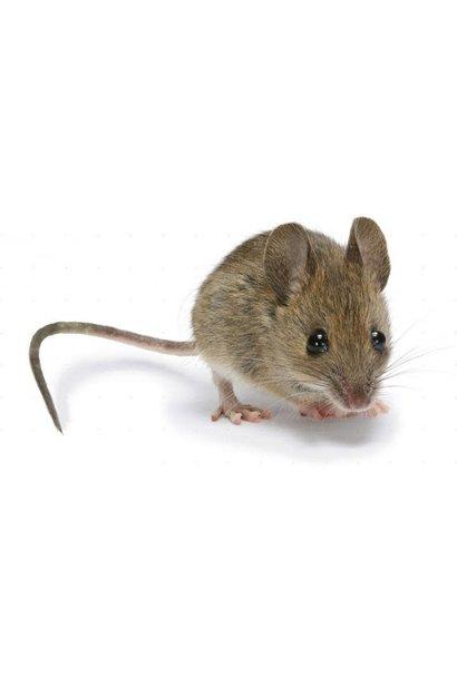 5 Frozen Adult Mice