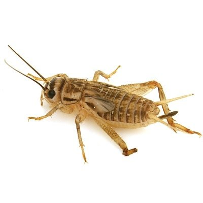 100 Pre Packed 1 Week Crickets