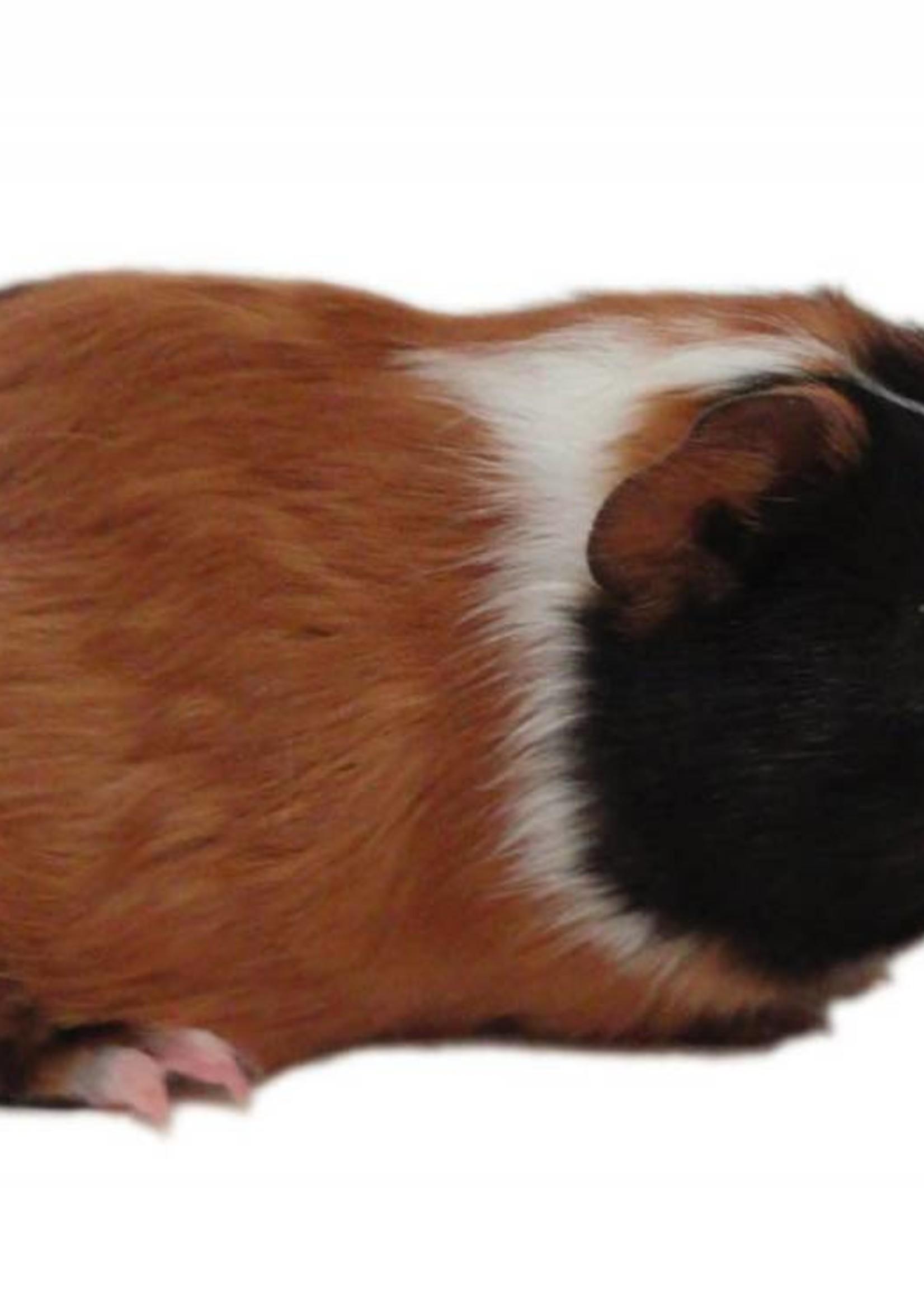 Frozen Guinea Pig 1.0-1.5lb