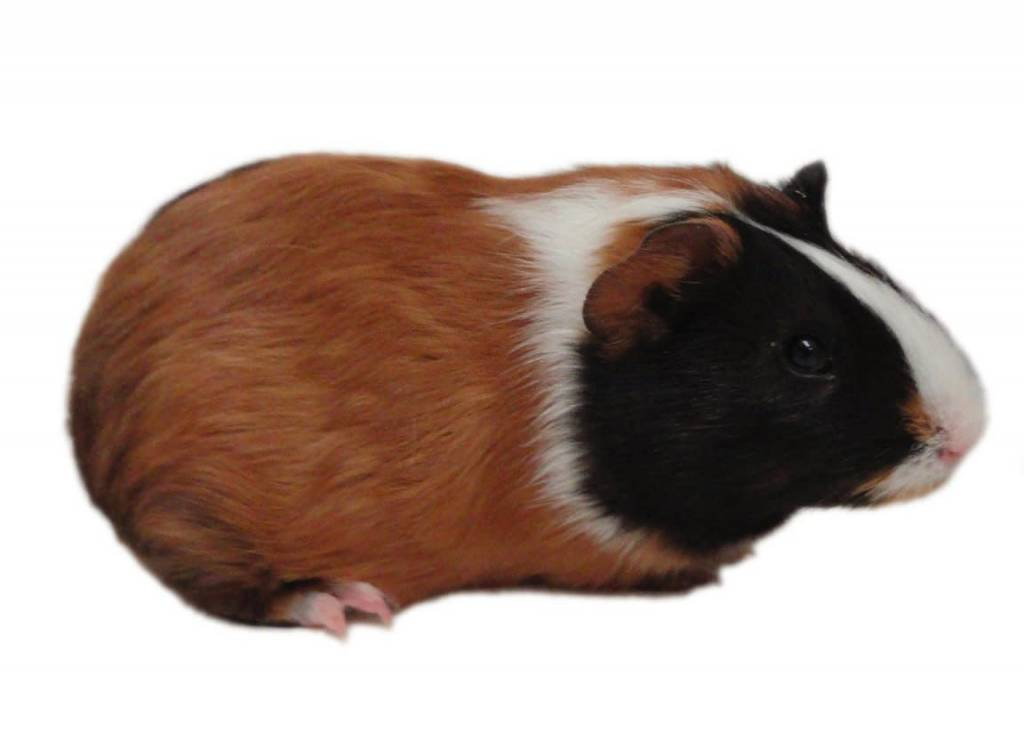 Frozen Guinea Pig 1.0-1.5lb-1
