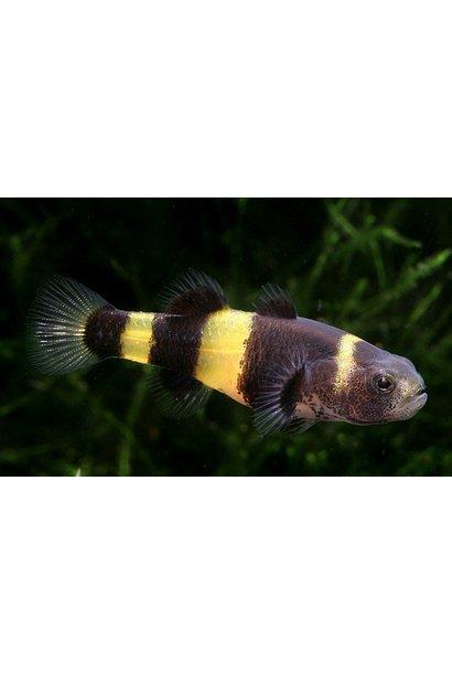 Bumblebee Catfish