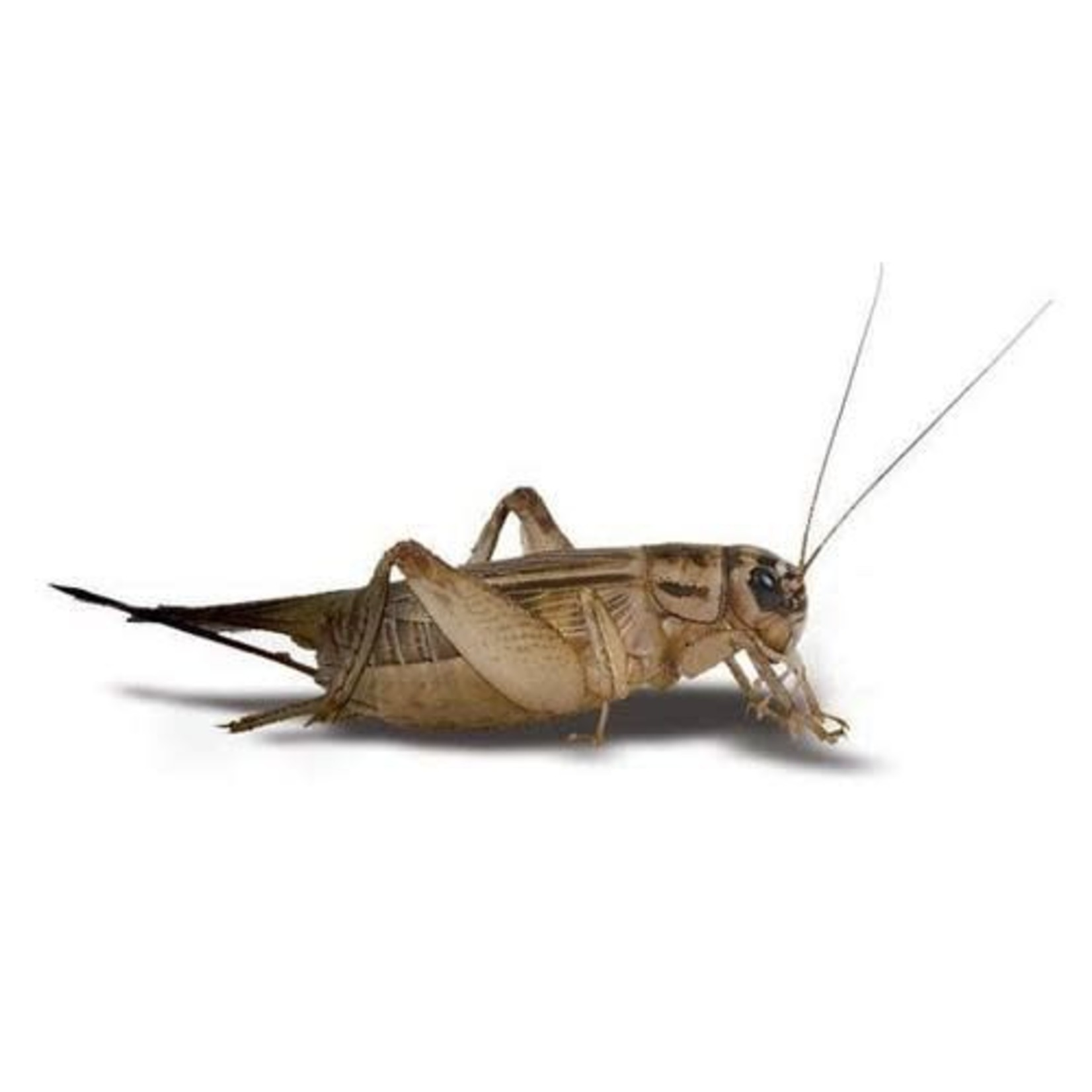 3 Week Crickets