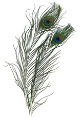 "Zucker Zucker Feather Peacock Eyes 9-12"" 2pc"
