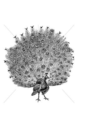 100 Proof Press Stamp Full Feathered Peacock