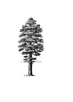 100 Proof Press Stamp Redwood Tree