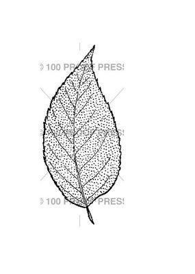 100 Proof Press Stamp Beech Leaf