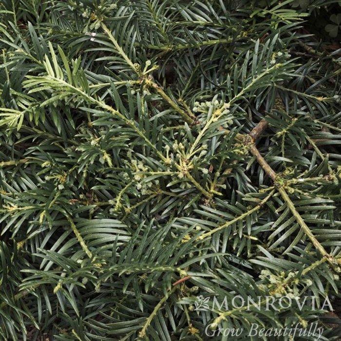 #3 Cephalotaxus h Duke Gardens/Japanese Plum Yew
