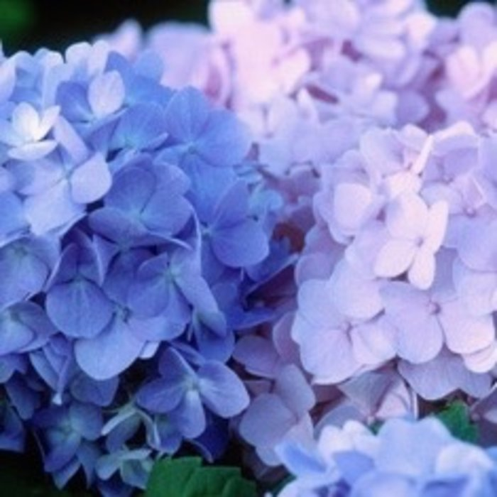 #3 Hydrangea mac The Original (Endless Summer)/Bigleaf/Mophead Repeat Blue or Pink