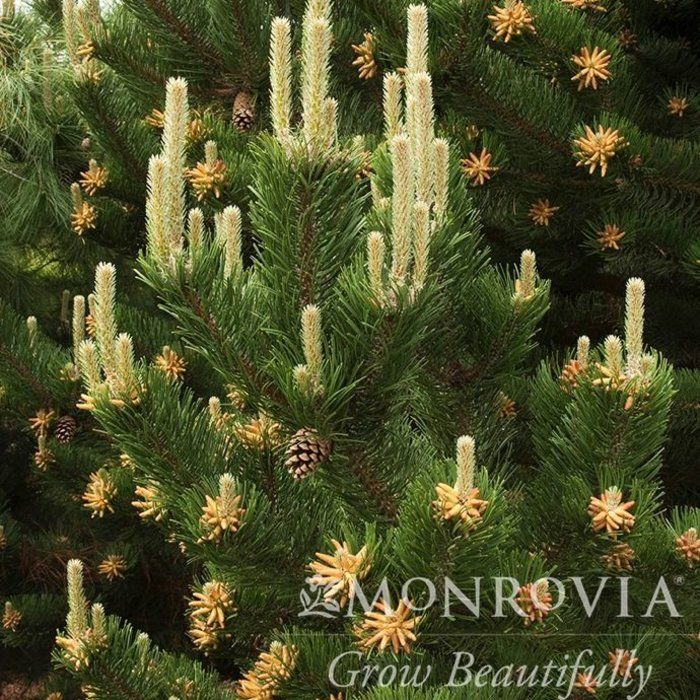 #2 Pinus nigra Oregon Green/Austrian Pine