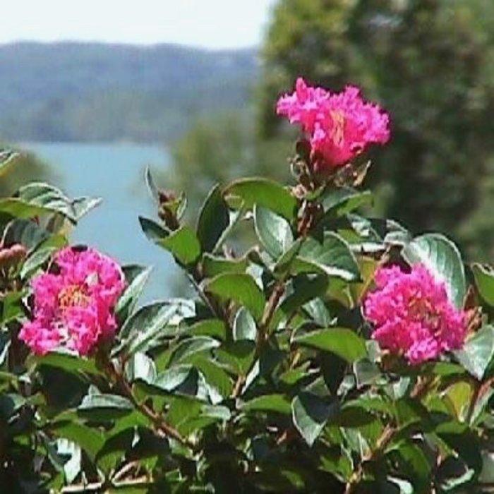 #3 Lagerstroemia x Pocomoke/Crape Myrtle Dwarf Deep Rose-pink