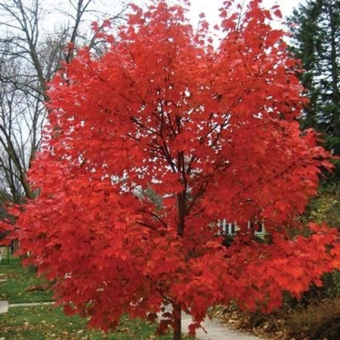 #15 Acer rubrum x freemanii Autumn Blaze/Red Maple