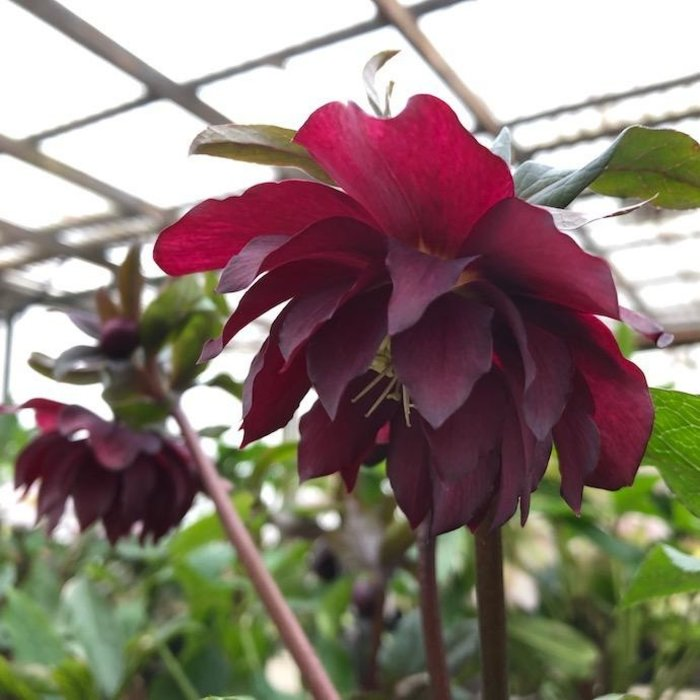 #1 Helleborus Winter Jewels Red Sapphire/Lenten Rose
