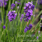 QP Lavandula Thumbelina/Lavender No Warranty