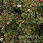 Topiary Patio Tree #5 Cotoneaster dammeri Streibs Findling