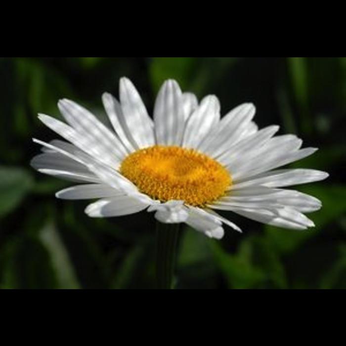 #1 Leucanthemum x superbum Becky/Shasta Daisy