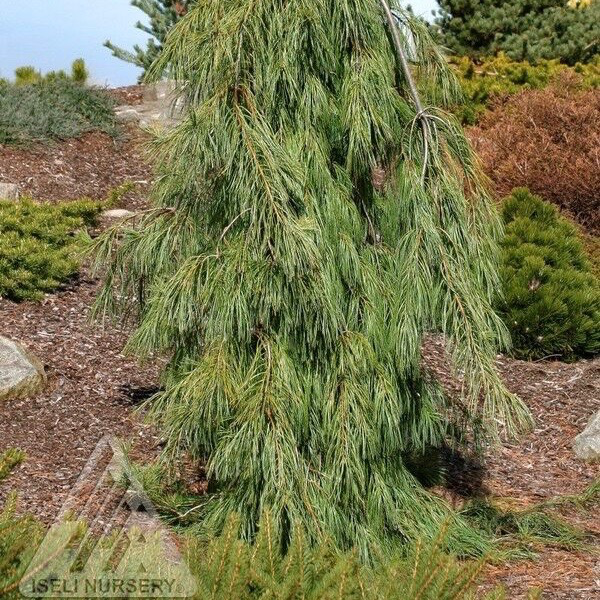 #6 Pinus strobus Angel Falls/Weeping White Pine NO WARRANTY