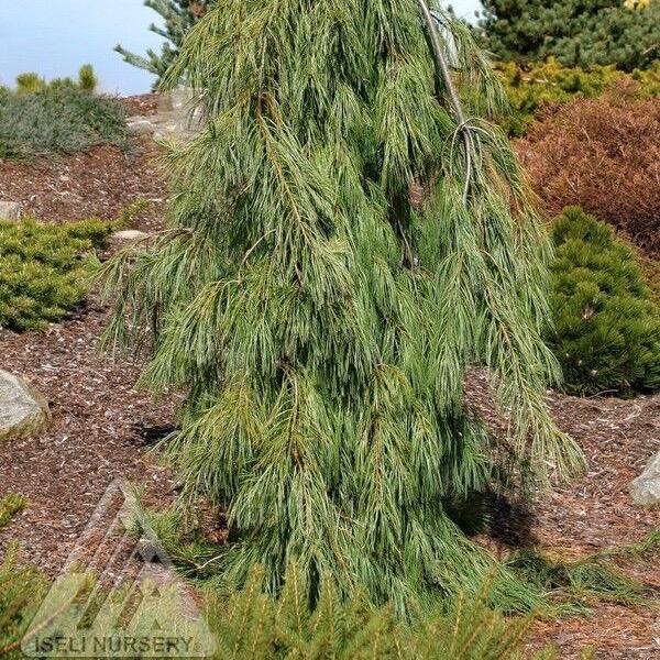 #3 Pinus strobus Angel Falls/Weeping White Pine NO WARRANTY