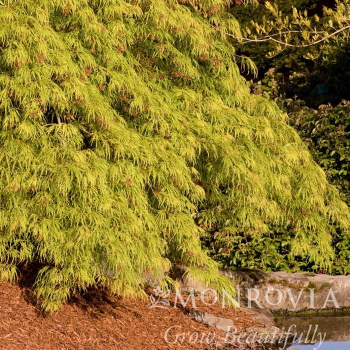 #10 STK Acer pal var diss Waterfall/Japanese Maple Green Weeping
