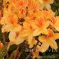 #2 Azalea Exbury Golden Flare/Deciduous