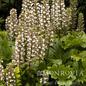 #1 Acanthus Oak Leaf/Grecian Pattern Plant