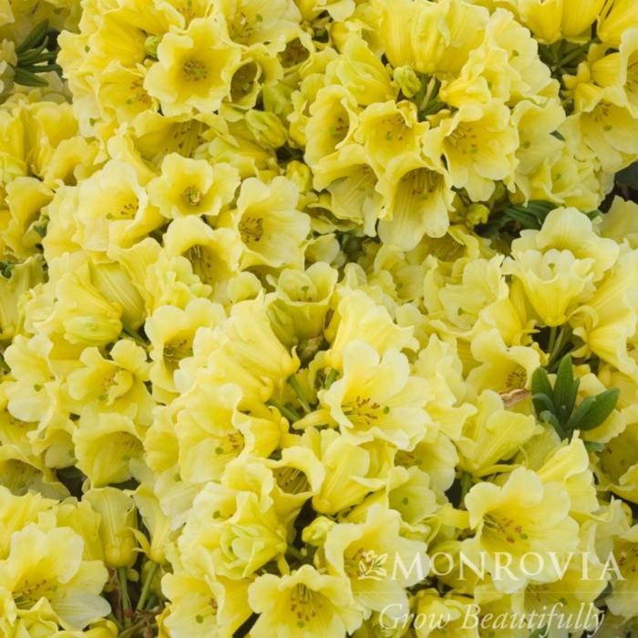#2 Rhododendron x 'Yellow Petticoats' NO WARRANTY