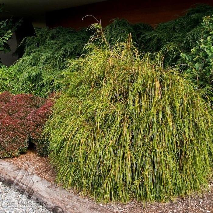 """Topiary #3 24"""" STD Thuja plicata Whipcord/Threadleaf Arborvitae"""