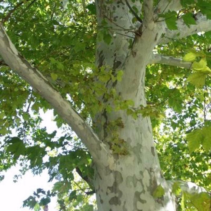 #15 Platanus x acerifolia Rockford Road/London Planetree