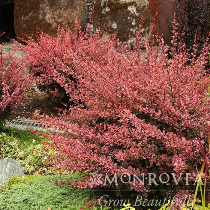 #2 Berberis thun Rose Glow/Barberry