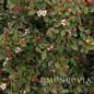 #3 Cotoneaster dammeri Streibs Findling
