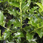 #15 Ilex x Conive/Festive Holly Red Hybrid